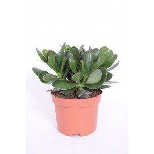 Crassula 'Magical Tree'  Pot 12 cm