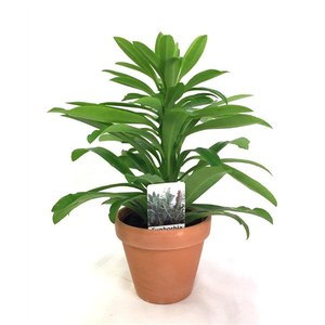 Euphorbia 'Grizly'  Pot terre cuite 12cm h37