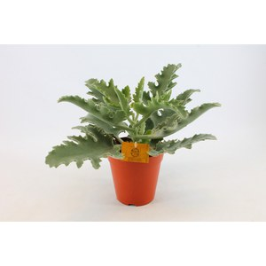 Kalanchoe beharensis  Pot de 14 cm h25