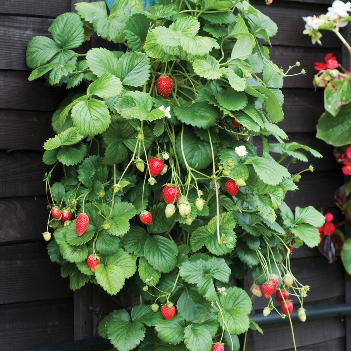 schilliger production fraisier 39 mara des bois 39 pot de 10 5. Black Bedroom Furniture Sets. Home Design Ideas