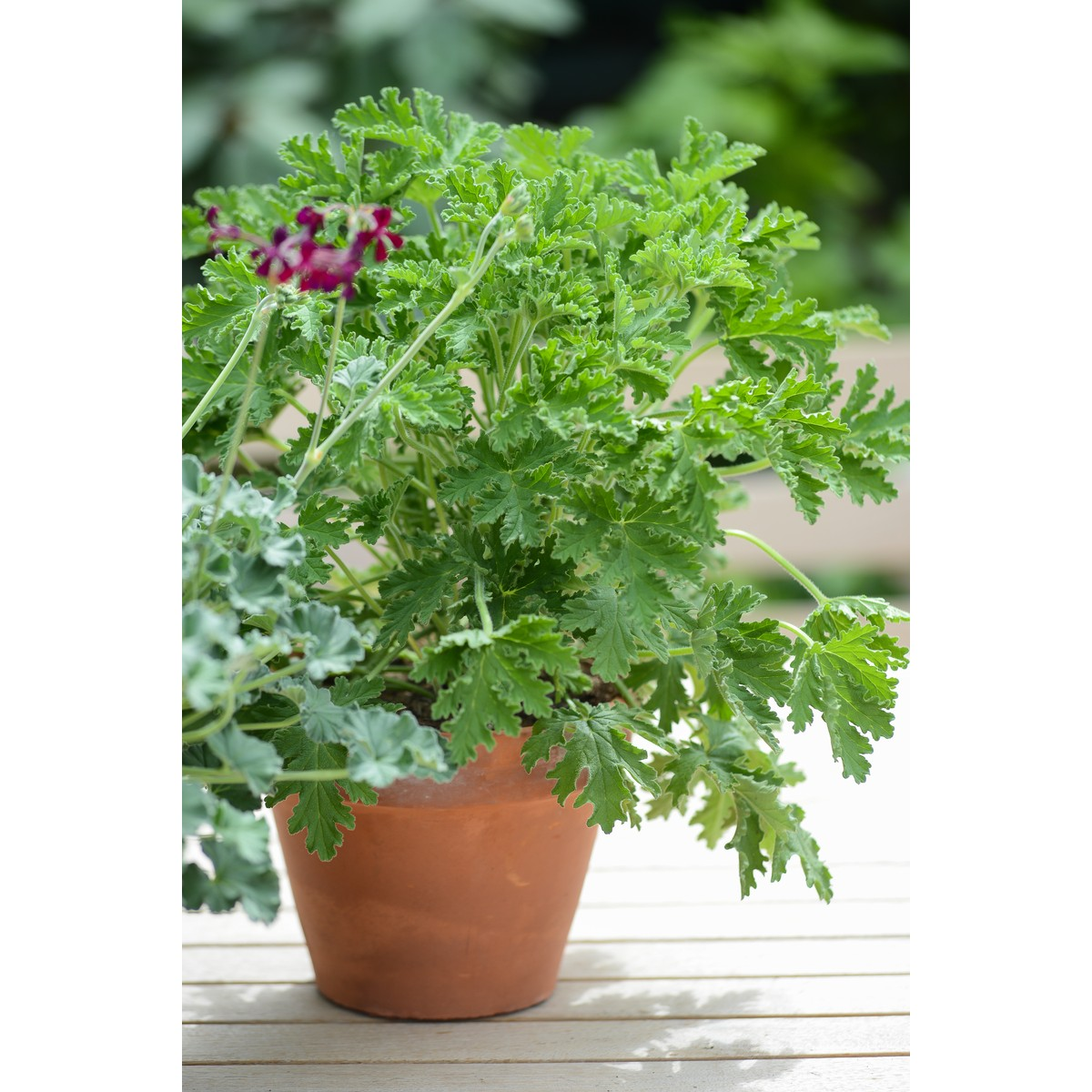 schilliger production pelargonium x graveolens 39 citronnelle 39 pot terre cuite 14 cm schilliger. Black Bedroom Furniture Sets. Home Design Ideas