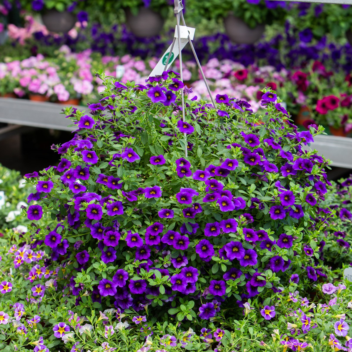 Schilliger Production  Calibrachoa  Suspension 28 cm