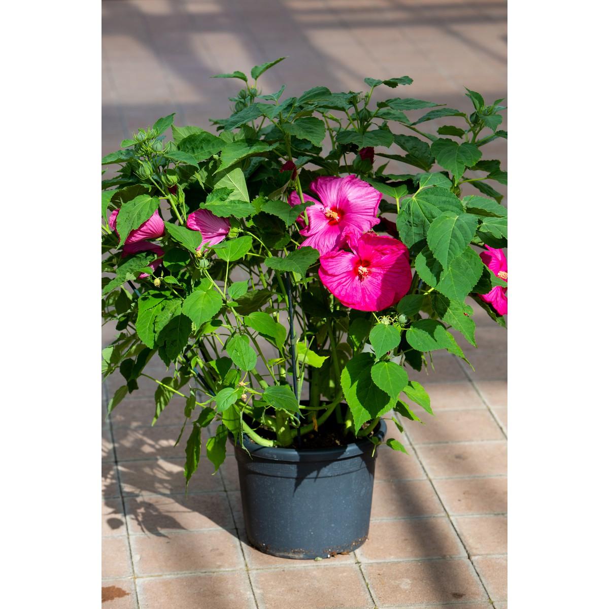 Schilliger Production Hibiscus Moscheutos Luna Rose Pot De 24 Cm