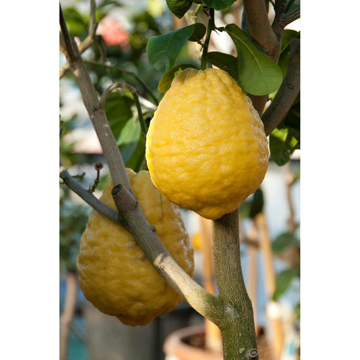Citrus medica  Pot 30 cm, colonne h90 cm