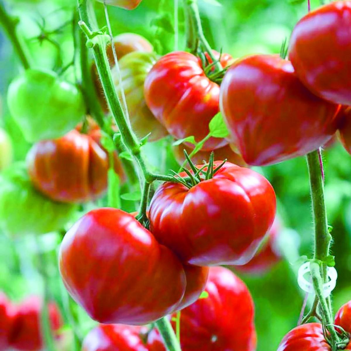 schilliger production tomate greff e 39 gourmandia 39 pot de 12 cm schilliger. Black Bedroom Furniture Sets. Home Design Ideas