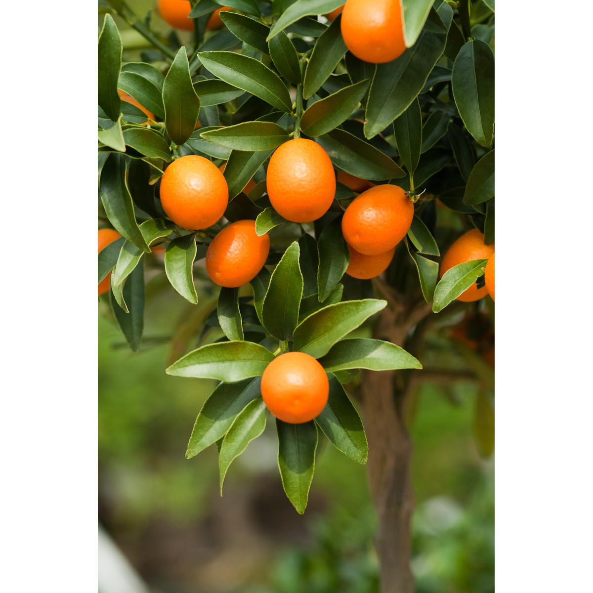 Citrus fortunella 'Margarita'  Pot 35 cm tige