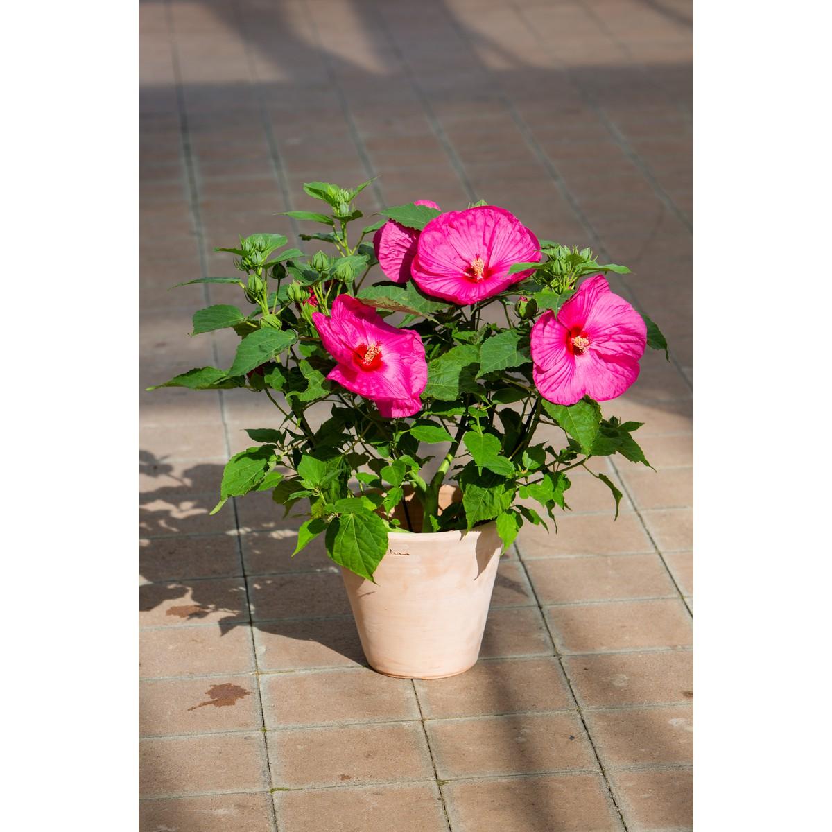 Schilliger Production Hibiscus Moscheutos Luna Rose Pot De 17 Cm