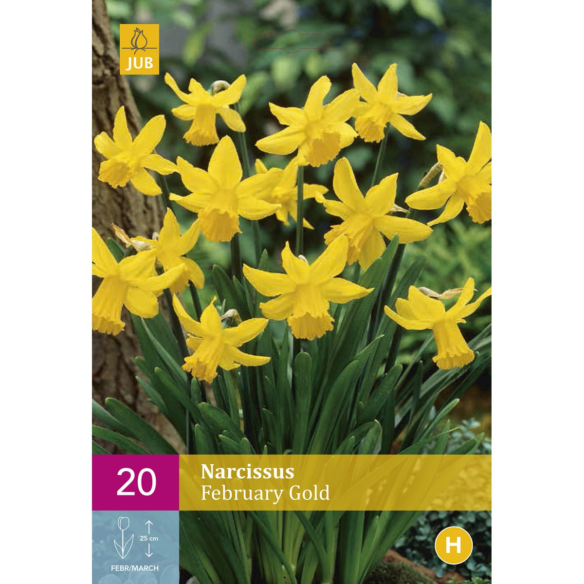 NARCISSUS FEBRUARY GOLD  20 bulbes / sachet