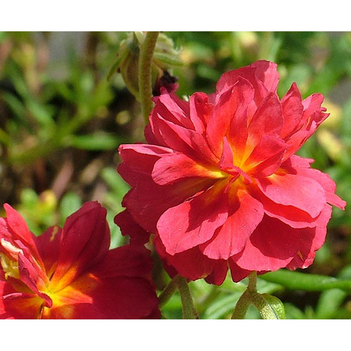 Schilliger Production  Helianthemum 'Cerise Queen'  12 cm