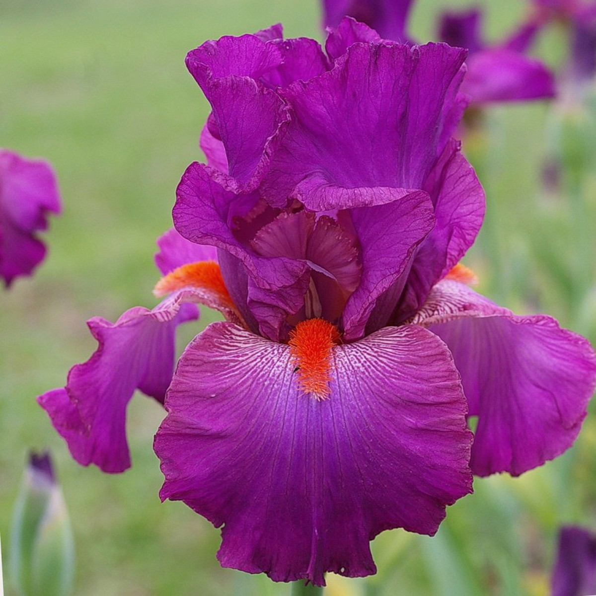 Schilliger Production  Iris germanica 'Rouge-Gorge'  P15