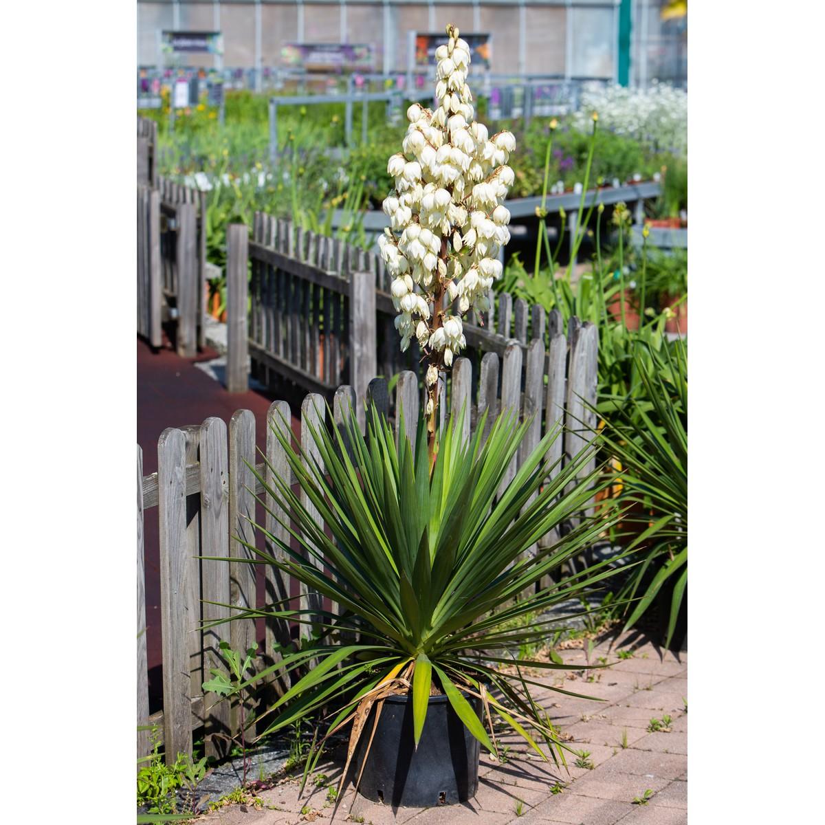 Yucca Dans Salle De Bain ~ yucca gloriosa clt 15 60 80 schilliger