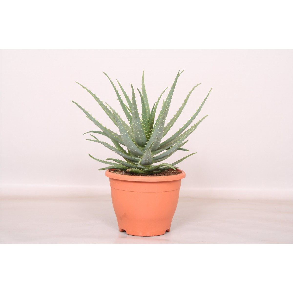 Aloe arborescens  Pot de 15 cm h35
